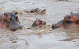 Nijlpaard - Hippopotamus - Hippopotamus amphibius