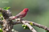 Roodsnavelvuurvink - Red-billed firefinch - Lagonosticta senegala