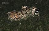 Jachtluipaard - Cheetah - Acinonyx jubatus