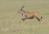 Elandantilope - Common Eland - Taurotragus oryx