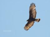 Bandstaartbuizerd - Zone-tailed Hawk - Buteo albonotatus