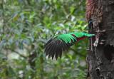 Quetzal  - Resplendent Quetzal - Pharomachrus mocinno