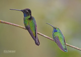 Lawrence Kolibrie - Admirable Hummingbird  - Kleine Violetoorkolibrie - Lesser Violet-ear - Colibri cyanotus cabanidis
