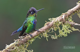 Irazu-kolibrie - Fiery-Throated Hummingbird - Panterpe insignis