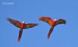 Geelvleugelara - Scarlet Macaw - Ara macao