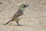 Usambiro baardvogel - Usambiro Barbet - Trachyphonus usambiro