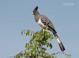 Witbuiktoerako - White-bellied Go-away-bird - Corythaixoides leucogaster