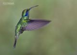 Kleine Violetoorkolibrie - Lesser Violet-ear - Colibri cyanotus cabanidis