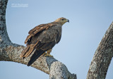 Savanne Arend - Tawny Eagle - Aquila rapax