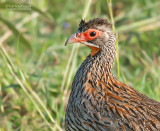 Grijshalsfrankolijn - Grey-breasterd spurfowl - Pternistis rufopictus