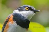 Bruinflank-vliegenvanger - Cape Batis - Batis capensis