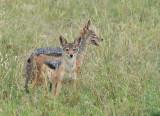 Zadeljakhals - Black-backed jackal - Canis mesomelas