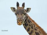Masai giraf - Masai giraffe - Giraffa camelopardalis tippelskirchi