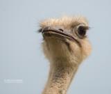 Struisvogel - Ostrich - Struthio camelus australis