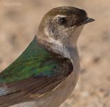 Groene Zwaluw - Violet-green Swallow - Tachycineta thalassina