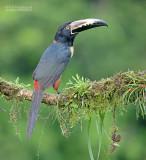 Halsbandarassari - Collared Aracari - Pteroglossus torquatus