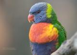 Lori van de Blauwe Bergen - Rainbow Lorikeet - Trichoglossus moluccanus