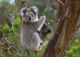 Koala - Koala - Phascolarctos cinereus