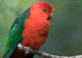 Australische Koningsparkiet - Australian King Parrot - Alisterus scapularis