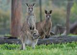 grijze reuzenkangoeroe - eastern grey kangaroo - Macropus giganteus