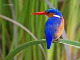 Malechiet ijsvogel - Malachite kingfisher - Alcedo cristata