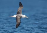 Witkapalbatros - Shy Albatross - Thalassarche cauta