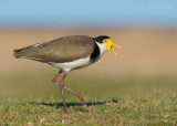 Lapwings and Plovers