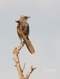Taborababbelaar - Black-lored Babbler - Turdoides sharpei