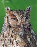 Cholibaschreeuwuil - Tropical Screech-Owl - Megascops choliba luctisonus