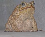 Reuzenpad - Cane Toad - Bufo marinus