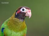 Roodoorpapegaai  - Brown-hooded Parrot - Pyrilia haematotis