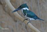Amazoneijsvogel  - Amazon Kingfisher - Chloroceryle amazona