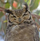 Magelhaenoehoe - Lesser Horned Owl - Bubo magellan