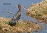 Puna-ibis - Puna Ibis - Plegadis ridgwayi