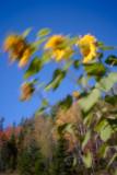 Pinhole Sunflowers