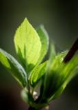 Nascent Leaves