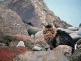 Wild Cat of Ediz Hook