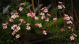 Free Lilies