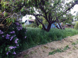 Lilacs and Cherry Trees