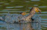 Double crested cormorant & trout