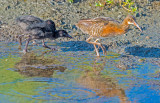 clapper rail with chicks