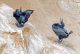 Brandt cormorant courting