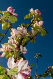 Blommande kvist