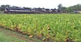 Wabash 1070 brings 124 by a tobacco field at Moreland, KY