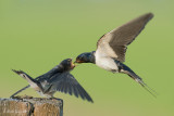 Barn Swallow / Boerenzwaluw