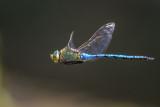 Dragonflies and Damselflies (Odonata) of Malta