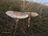 Grote Parasolzwam - Parasol Mushroom - Macrolepiota procera