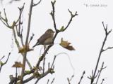 Kleine Vliegenvanger - Red-breasted Flycatcher - Ficedula parva