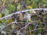 Struikrietzanger - Blyth's Reed Warbler - Acrocephalus dumetorum
