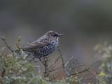 Spreeuw - Common Starling - Sturnus vulgaris